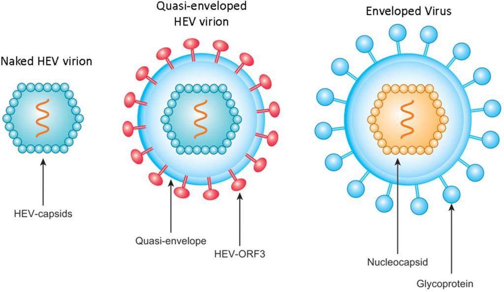 Структура на вируса на хепатит Е