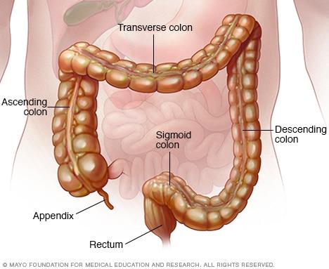 Дебелото черво и ректума