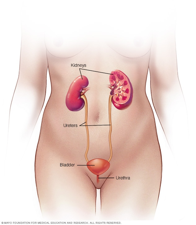 Женска пикочна система